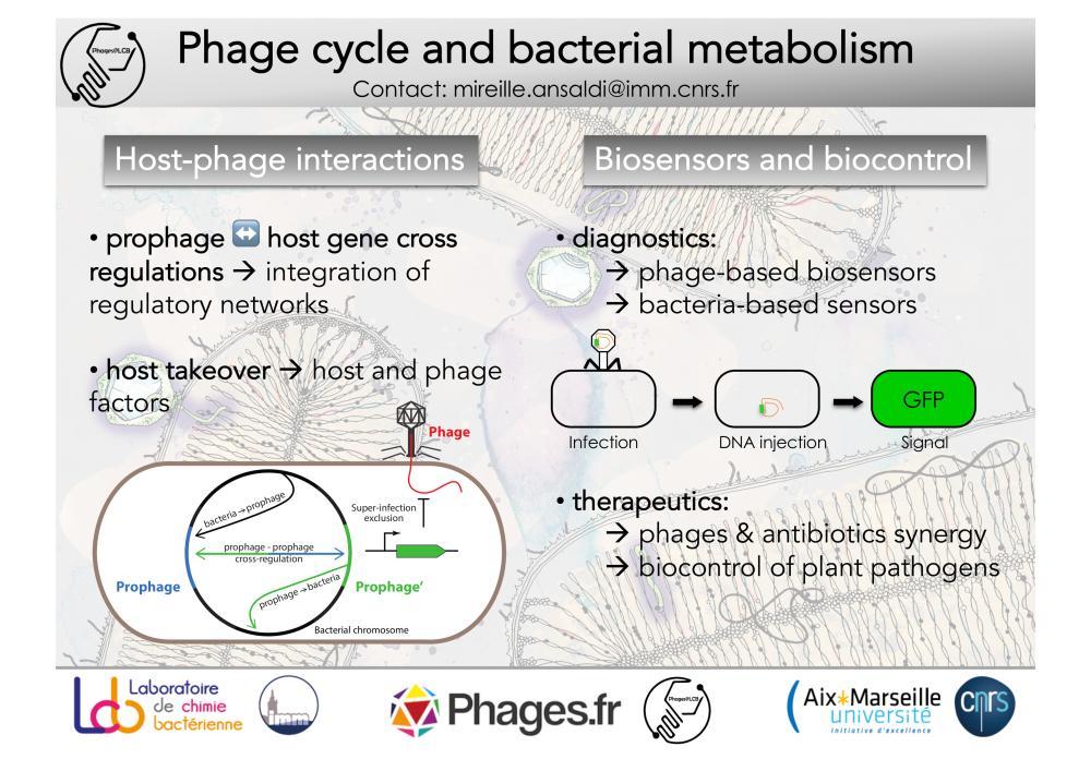 Représentation des interactions génétiques entre prophages et hôtes, infection par un Phage biosenseur avec signal GFP