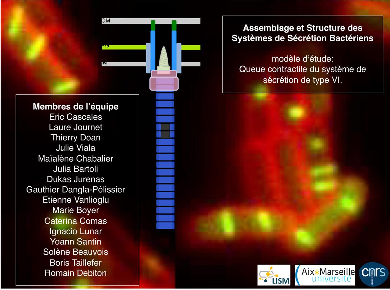 queue contractile du système de sécrétion de type VI par microscopie de fluorescence